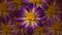 Royalty Free HD Video Clip of Rotating Purple and Yellow Flowers