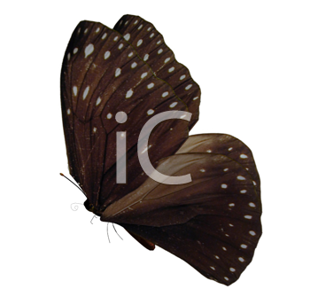 Brown butterfly with beige spots