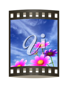 Beautiful Cosmos Flower against the sky. 3D illustration.. The film strip